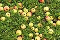 Nedfallsfrukt apples epler Grythengen Toten Norway.jpg