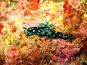 Bunaken National Park - Nudibranch (Nembrotha cristata), a shell-less mollusc in the waters of Bunaken National Park