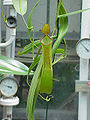 Nepenthes reinwardtiana2.jpg