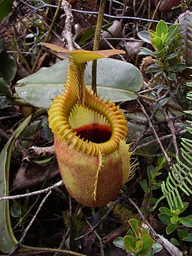 Nepenthes villosa.jpg