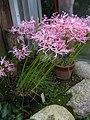 Nerine filifolia2.jpg