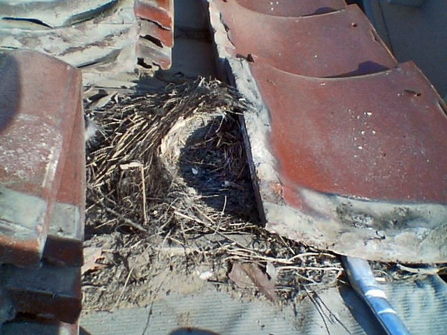 Nest of Passer montanus B
