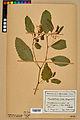 Neuchâtel Herbarium - Impatiens noli-tangere - NEU000019938.jpg