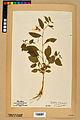 Neuchâtel Herbarium - Impatiens noli-tangere - NEU000019960.jpg