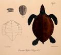 Neue Wirbelthiere zu der Fauna von Abyssinien gehörig (1835) Eretmochelys imbricata bissa.png