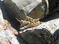 New Zealand Grasshopper - Flickr - GregTheBusker.jpg
