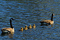 Newborn Canadian Goslings.jpg