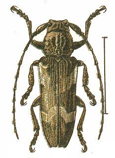 <i>Niphona</i> genus of insects