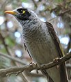 Noisy miner, Manorina melanocephala, a bird in the honeyeater family, Meliphagidae, that is endemic to eastern and south-eastern Australia (16455810093).jpg