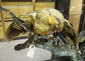 Norfolk kaka - Birmingham Museums Trust's taxidermed Norfolk kaka