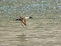 Northern Pintail (Anas acuta) (33992438901).jpg