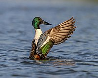 Northern shoveler Steve Sinclair outreach use only (19838806616).jpg