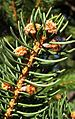 Norway Spruce buds.jpg