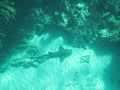 Nurse Shark, Isaac Bay.jpg
