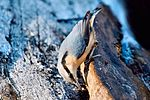 Nuthatch - Lackford Lakes (31846277571).jpg