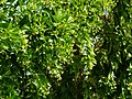 Nyctanthes arbor-tristis Laos 2.jpg