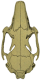 O. c. cuniculus skull (dorsal).png