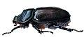 O.nasicornis F.jpg