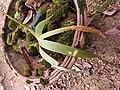 Oberonia santapaui-4-bsi-yercaud-salem-India.jpg