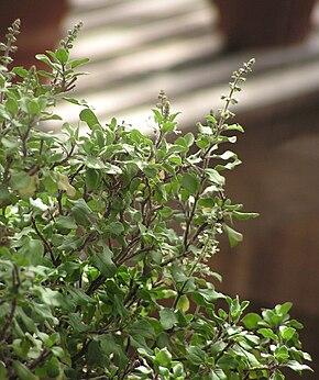 Description de l'image Ocimum tenuiflorum2.jpg.