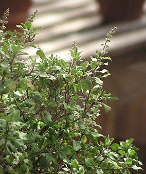 Ocimum tenuiflorum - Image: Ocimum tenuiflorum 2