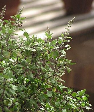 Tulsi Vivah - Image: Ocimum tenuiflorum 2