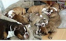 Olde English Bulldogge - Wikipedia