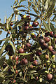 Olives (Cipressino) CL JWeber (2) (23148318695).jpg
