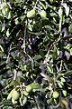 Olives (PICHOLINE) CL. J Weber (4) (23148297225).jpg