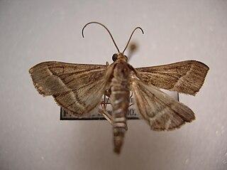 <i>Omiodes continuatalis</i> Species of moth