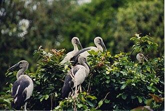 Ranganathittu Bird Sanctuary - Image: Open billed Stork at the Ranganathittu bird sanctuary