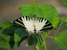 Open wing position of Graphium antiphates Cramer, 1775 – Five-bar Swordtail 2.jpg