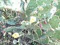 Opuntia ficus-indica (5).JPG
