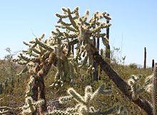 Opuntia fulgida 1 - Desert Botanical Garden.jpg