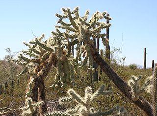 <i>Cylindropuntia fulgida</i> species of plant
