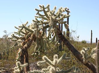 Cylindropuntia fulgida - Image: Opuntia fulgida 1 Desert Botanical Garden