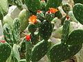 Opuntia quitensis-IMG 5651.JPG