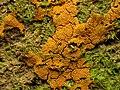 Orange Slime Mould (27979924634).jpg
