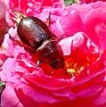 Oryctes nasicornis (European rhinoceros beetle)(Sarvikuonokas).12.jpg