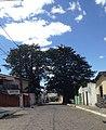 Os dois exemplares de Baobá em Itaberaba na Bahia.jpg