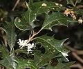 Osmanthus heterophyllus s5.jpg