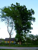 Ovadne Vol-Volynskyi Volynska-oak-500 years-1.jpg