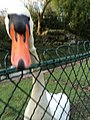 Over friendly goose in Parc Bordelais - panoramio.jpg