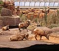 Ovis canadensis - Bighorn Sheep2 BZ ies.jpg