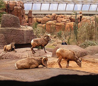 Royal Burgers' Zoo - Bighorn sheep in Burgers' Desert