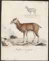 Ovis musimon - 1700-1880 - Print - Iconographia Zoologica - Special Collections University of Amsterdam - UBA01 IZ21300125.tif