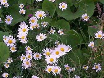 Oxe-eye daisies.JPG