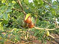 Pé de Siriguela em Sitio em Campo Verde 01 - panoramio.jpg