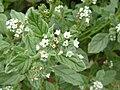 P1000546 Heliotropium europaeum (Boraginaceae) Flower.JPG