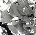 P1290469 Paris V jardin des plantes ginkgo feuilles bw rwk.jpg